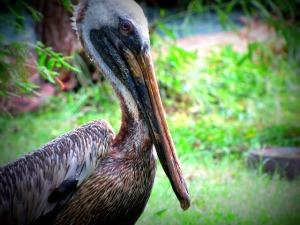 pelican-52683_640